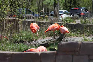 Scenic Safari Toronto Zoo Flamingos.