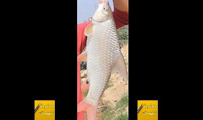 صيد سمك البني بالمكرونة