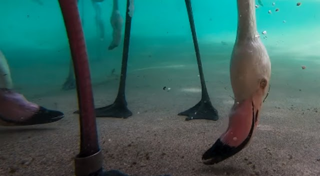 Dive into the Underwater World of Flamingo Dining; Amazing Video