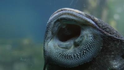 Jenis Ikan Sapu Sapu Hias Atau Pleco Beserta Harganya