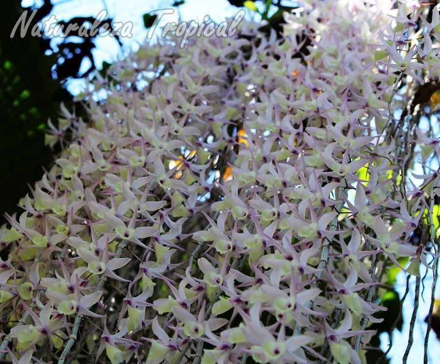 Floración de la orquídea Dendrobium pierardii