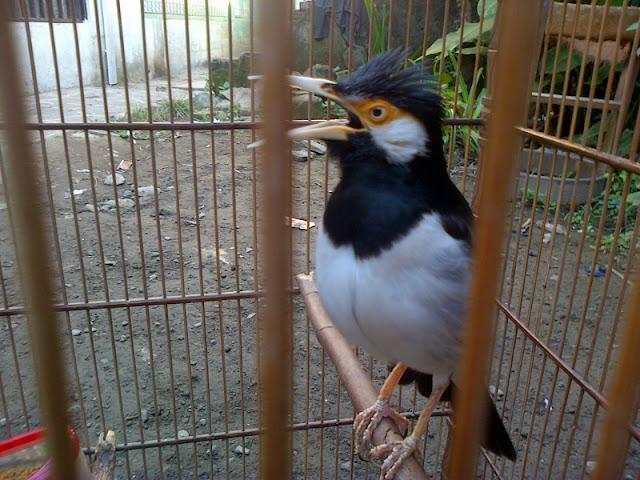 Suara Jalak Suren Gacor Full Isian Untuk Masteran Burung