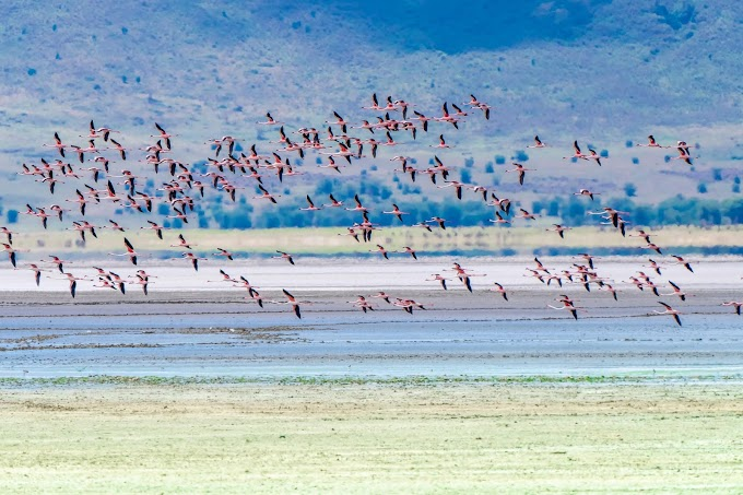 Flamingos in flight Ngorongoro Crater, Tanzania