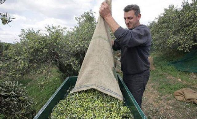 Η καλύτερη πατέντα για το μάζεμα της ελιάς με Ελληνική υπογραφή (ΒΙΝΤΕΟ)