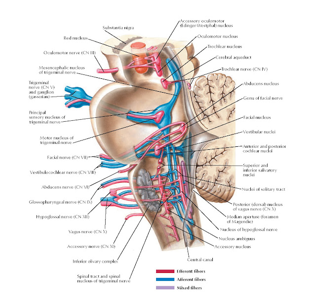 Cranial Nerve Nuclei in Brain Stem: Schema Anatomy