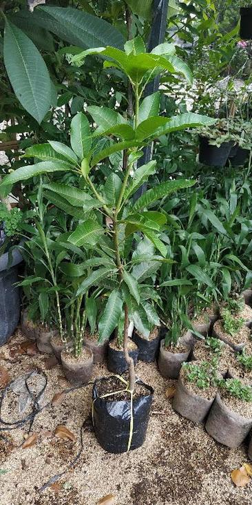tanaman Buah bibit benih mangga aromanis arumanis harumanis simanalagi mangga madu Cilegon