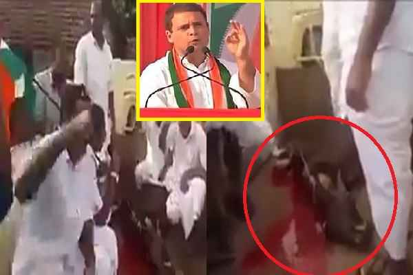 congress-murder-cow-in-congress-heart-hindus-sentiments