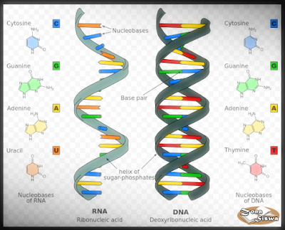 Pengertian RNA, Definisi RNA, Apa itu RNA, Fungsi RNA, Jenis-jenis RNA.