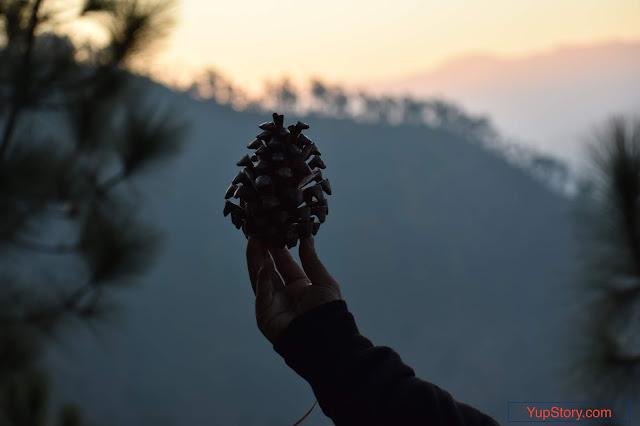 Pine fruit, pine tree picture, pine tree photo, pine seeds, pine plant, pine image