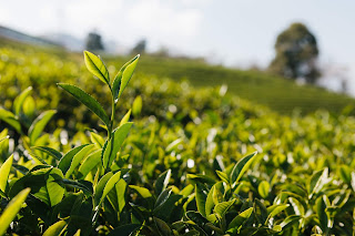 Tea plantation in Assam