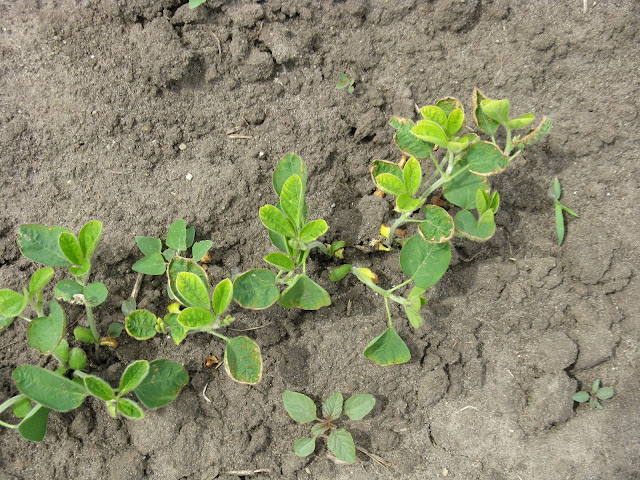 soybean boron deficiency toxicity Minnesota