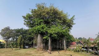 El árbol centenario de Candi Mendut.