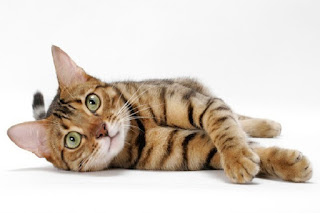 Cat-Leopard or Bengal