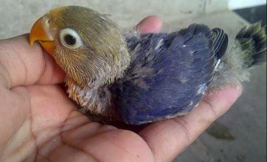 Cara Merawat Anakan Lovebird
