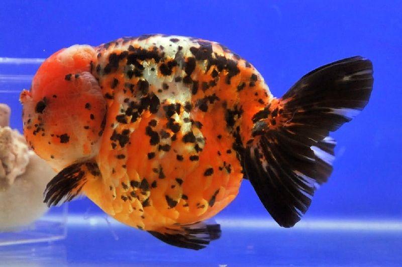 cara mengawinkan ikan koki di akuarium