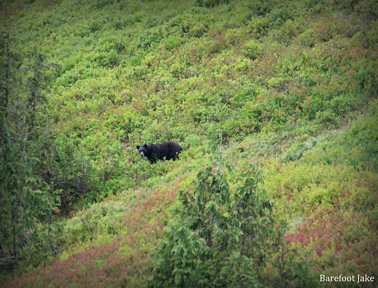 black bear eating