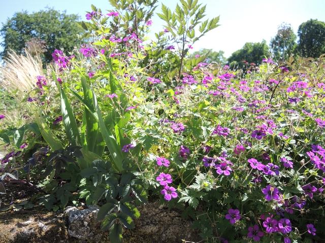 "June Blake's Garden Geranium ""AnneThompson"""