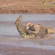 Duel Sengit!! 3 Singa Keroyọk Seekor Buaya Untuk Berebut Bangkai Gajah
