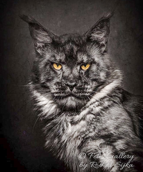 Maine Coon with lion's face