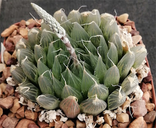 Haworthia specksii 10 cm - Pallotti Farm near Queenstown