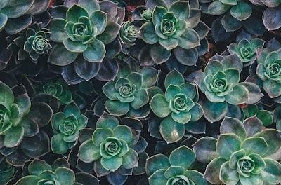 tanaman katus sukulen rontok akibat kekurangan air