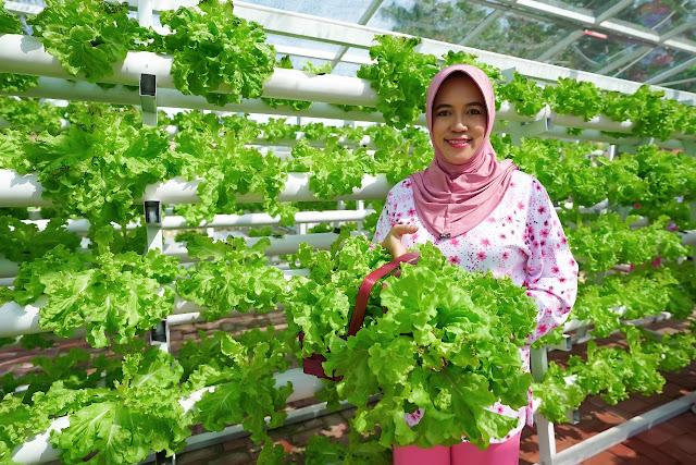 Panen Sayur, Derta Ajak Masyarakat Manfaatkan Perkarangan Pola Hidroponik