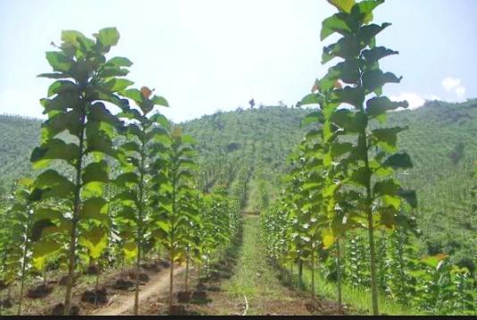 pengertian tumbuhan - Tumbuhan Pohon Jati