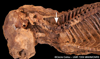 Egyptian dog mummy infested with parasites