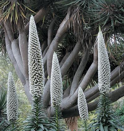 How To Grow Tree Echiums The Garden Of Eaden
