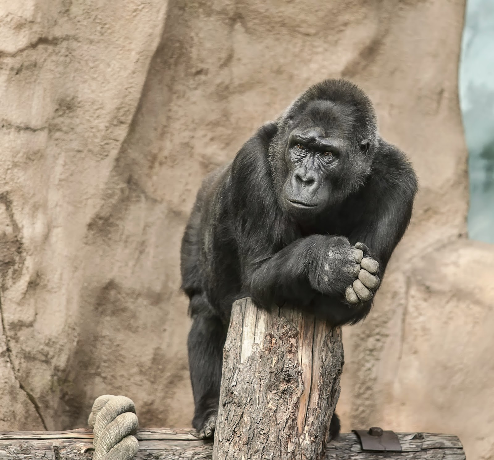 gorilla plotting his escape from a zoo