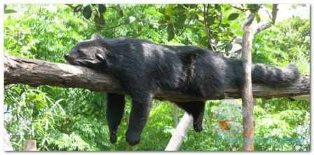 Imut: binturung merupakan hewan nokturnal yang menghabiskan siang hari dengan tidur serta bermalas-malasan di batang pohon