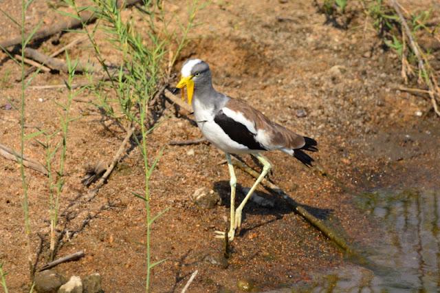 Vanellus albiceps