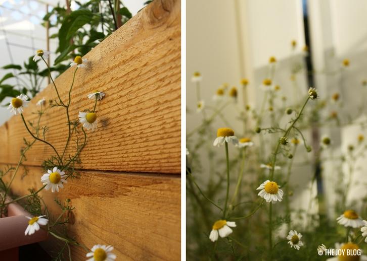 German Chamomile Flowers // www.thejoyblog.net