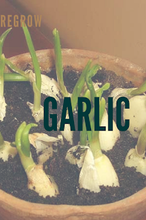 REGROWING GARLIC