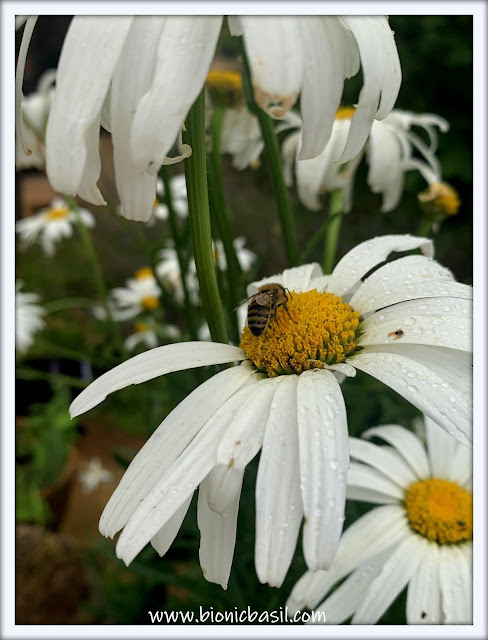 The Daisy Umbrella  ©BionicBasil® The Pet Parade 364