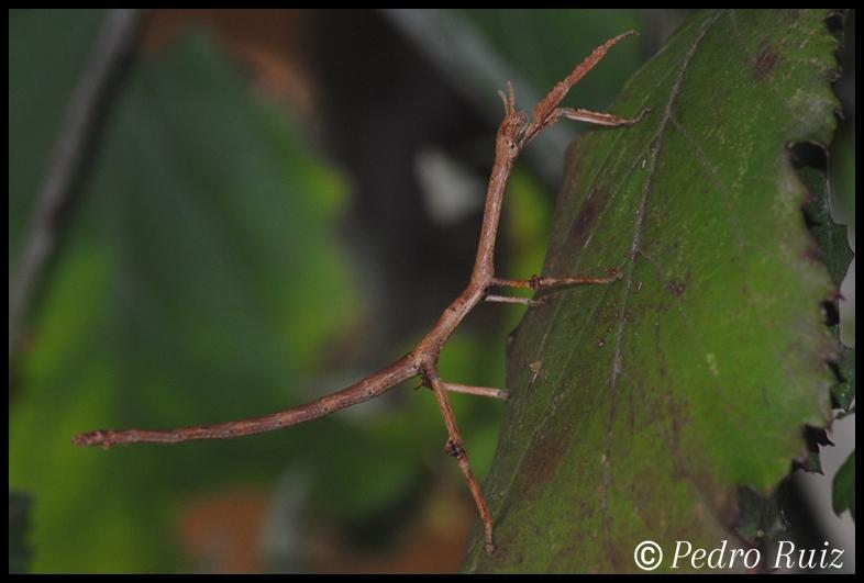 Ninfa macho L3 de Achrioptera manga, 5 cm de longitud
