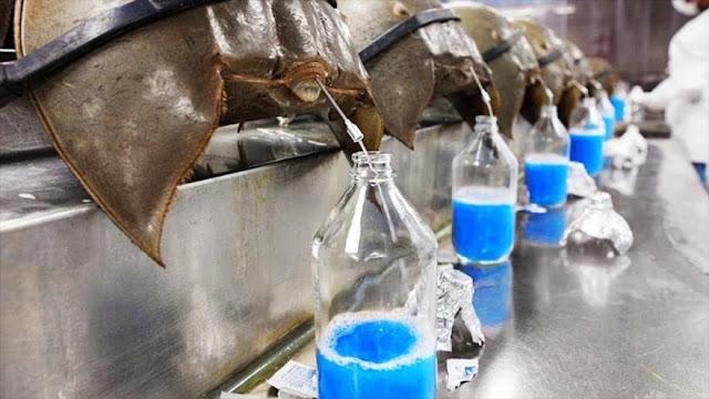 ¿Cómo sangre azul de cangrejos nos puede ayudar contra COVID-19?