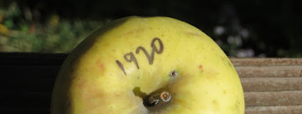 "The top of a yellow apple, with the number ""1920"" written on it with a black marker.."