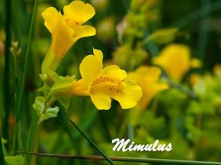 Flor de Bach Mimulus
