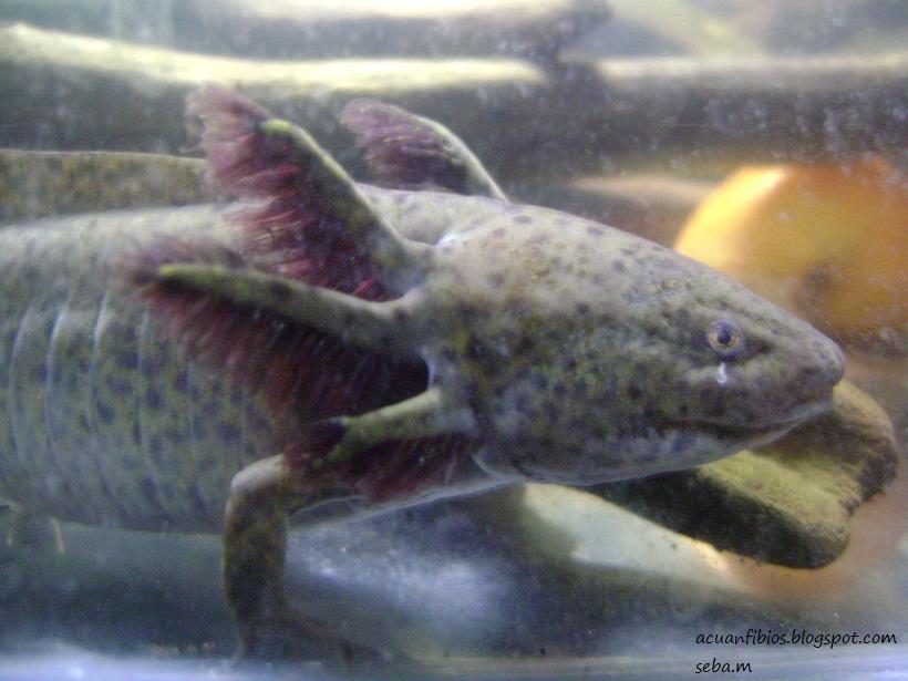 todo el hobby sobre acuarismo y anfibios Axolote o
