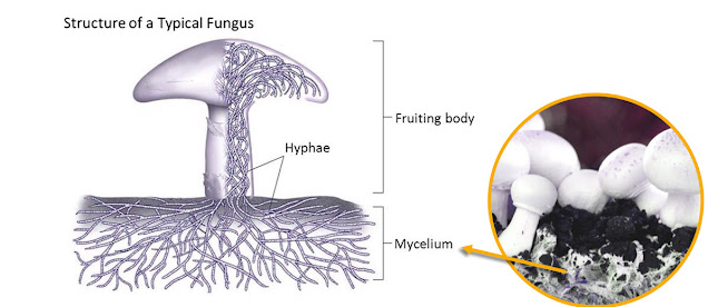 Pict: The threadlike mycelium, often hidden beneath soil or vegetation, absorbs nutrients.