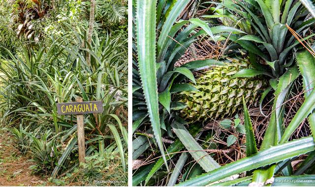 Caraguatá, planta nativa da região de Misiones, Argentina