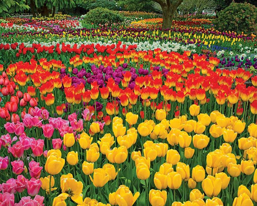 bunga tulip cantik berseri