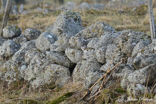 Belette et son pelage d'hiver en Auvergne