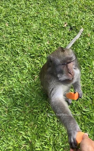 Kasih makan monyet-monyet di Alas Kedaton legal selama dalam pengawasan petugas