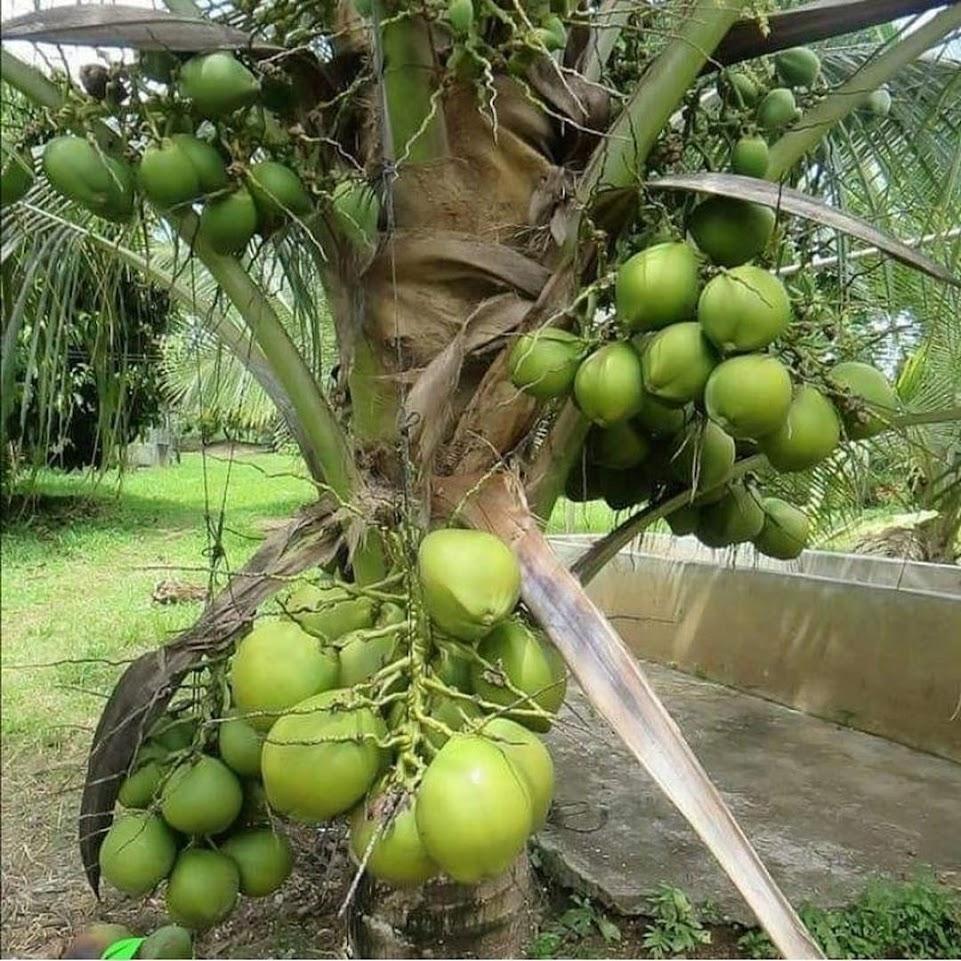 bibit kelapa hibrida Tegal