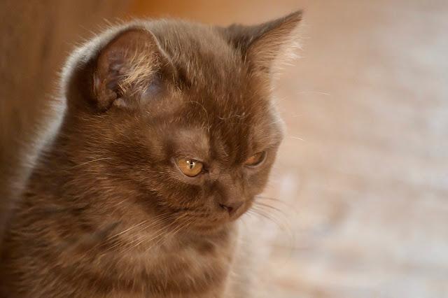 gatito lindo color canela