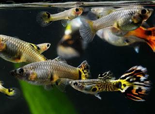 Rekomendasi Ikan Hias Kecil Yang Cocok Untuk Aquarium Kecil Ikan Guppy