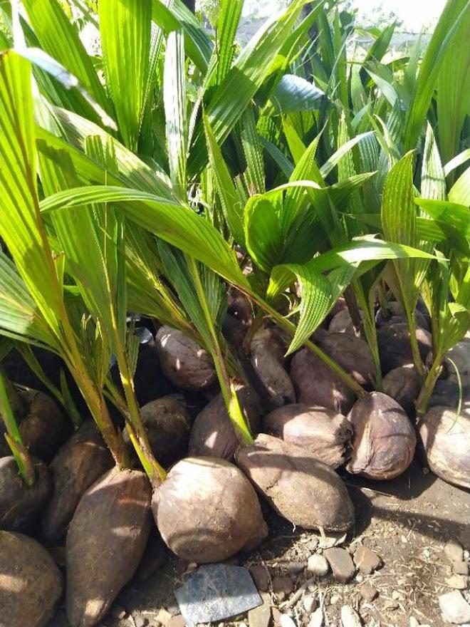 bibit kelapa genjah entok Denpasar