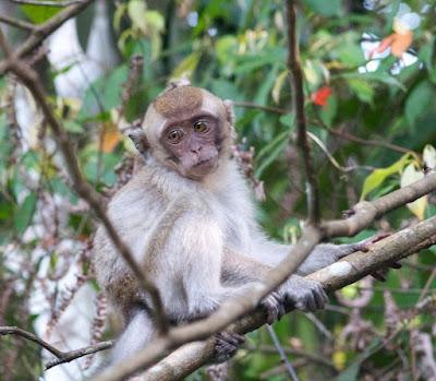 Long-tailed Macaque (Macaca fascicularis)